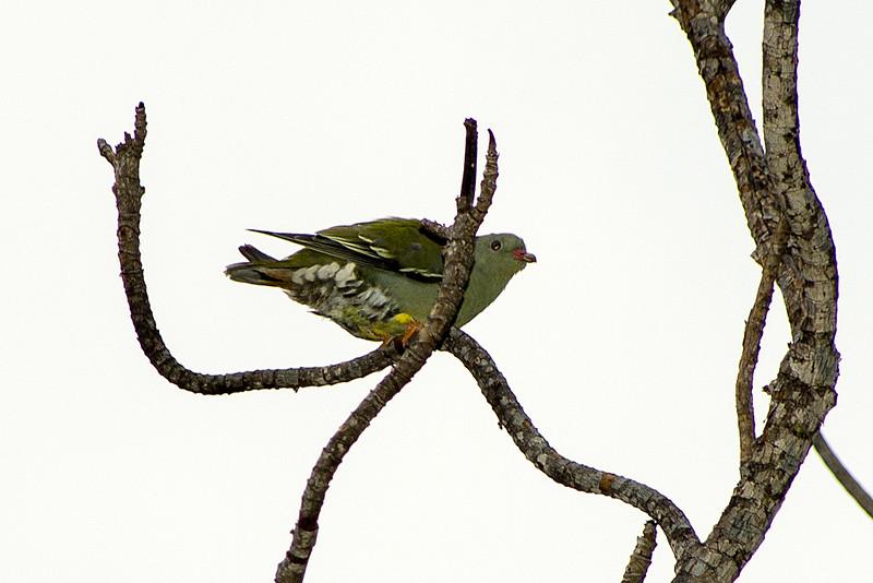 African green-pigeon or Green pigeon (Treron calvus)