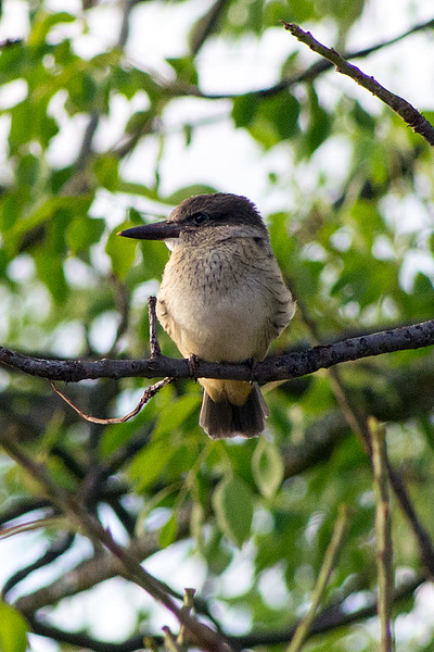 Brown-hooded kingfisher (Halcyon albiventris) - Juvenile