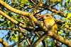 Brown-hooded kingfisher (Halcyon albiventris)