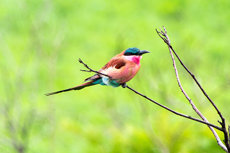 Southern carmine bee-eater or Carmine bee-eater (Merops nubicoides)