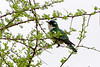 Diderick cuckoo (Chrysococcyx caprius)