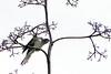 Red-chested cuckoo (Cuculus solitarius)