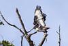 Jackal buzzard (Buteo rufofuscus)