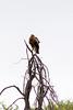 Lesser spotted eagle (Aquila pomarina)
