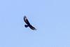 Verreauxs' eagle or Black eagle (Aquila verreauxii)