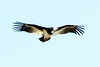 White-headed vulture (Aegypius occipitalis)