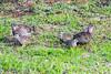 - with chicks Crested francolin (Dendroperdix sephaena)