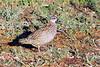Crested francolin (Dendroperdix sephaena)