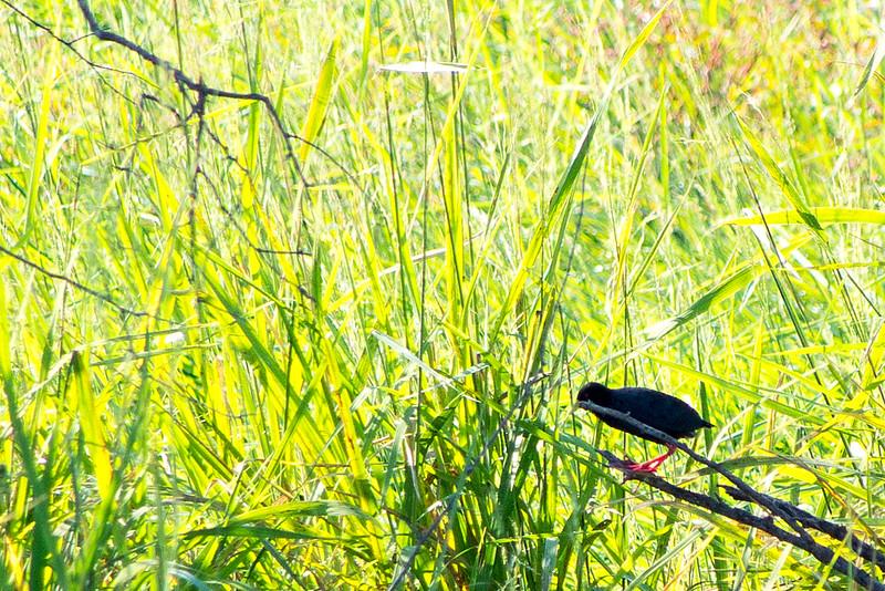 Black crake (Porzana flavirostra)