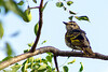 Black cuckooshrike (Campephaga flava) - Female
