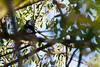 Black cuckooshrike (Campephaga flava) - Male