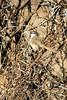 Black-chested prinia (Prinia flavicans)