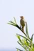 Levaillant's cisticola (Cisticola tinniens)