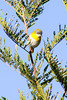 Yellow-breasted apalis (Apalis flavida)