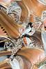 Spermestes cucullatus (Bronze mannikin)