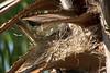 Spermestes cucullatus (Bronze mannikin) - nest