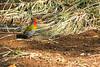 Green-winged pytilia or Melba finch (Pytilia melba) - Male