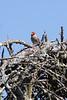 Red-headed finch (Amadina erythrocephala)  - Male
