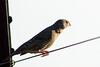 Red-headed finch (Amadina erythrocephala) - Female