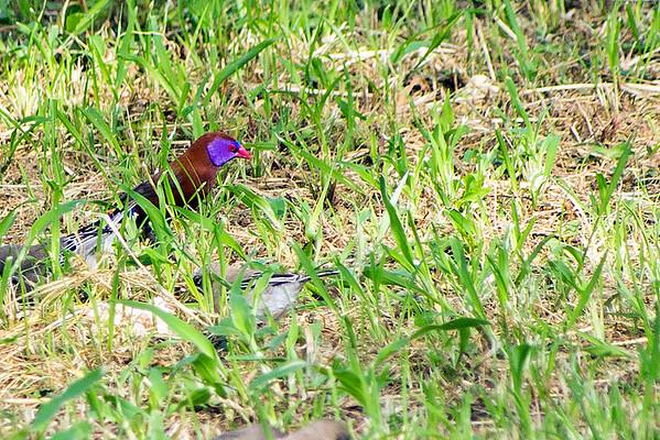Violet-eared waxbill (Granatina granatina)