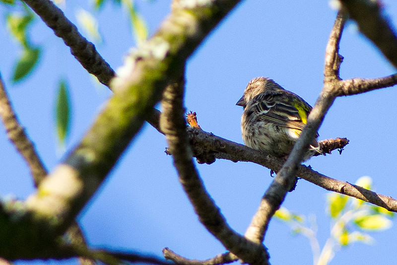 Black-throated canary (Crithagra atrogularis)