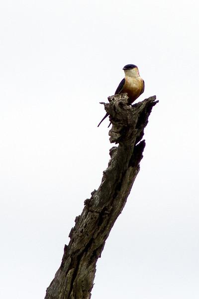 Mosque swallow (Hirundo senegalensis)
