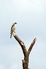 Lesser grey shrike (Lanius minor)