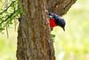 Crimson-breasted shrike or Crimson-breasted boubou (Laniarius atrococcineus)