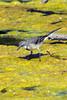 Cape wagtail (Motacilla capensis)
