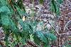 Bearded scrub-robin (Cercotrichas quadrivirgata)