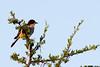 Fiscal flycatcher (Sigelus silens)