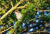 Fiscal flycatcher (Sigelus silens) - Juvenile