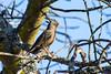 Karoo thrush (Turdus smithi)