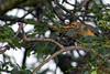 Kurrichane thrush (Turdus libonyanus)
