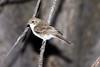 Marico flycatcher (Bradornis mariquensis)