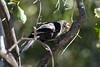 Red-billed Buffalo Weaver (Bubalornis niger)
