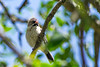 Scaly-feathered finch (Sporopipes squamifrons)