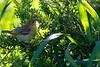 Southern masked-weaver (Ploceus velatus) - Juvenile