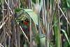 Southern red bishop or Red bishop (Euplectes orix)