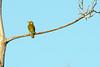 Spectacled weaver (Ploceus ocularis)