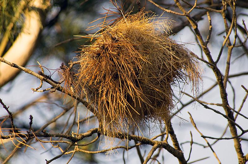White-browed sparrow-weaver (Plocepasser mahali) nest (pine needles)