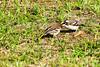 White-browed sparrow-weaver (Plocepasser mahali) - feeding chick