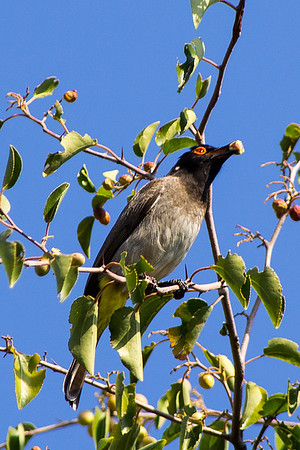African red-eyed bulbul or Red-eyed bulbul (Pycnonotus nigricans)