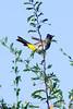 Dark-capped bulbul or Black-eyed bulbul (Pycnonotus tricolor)