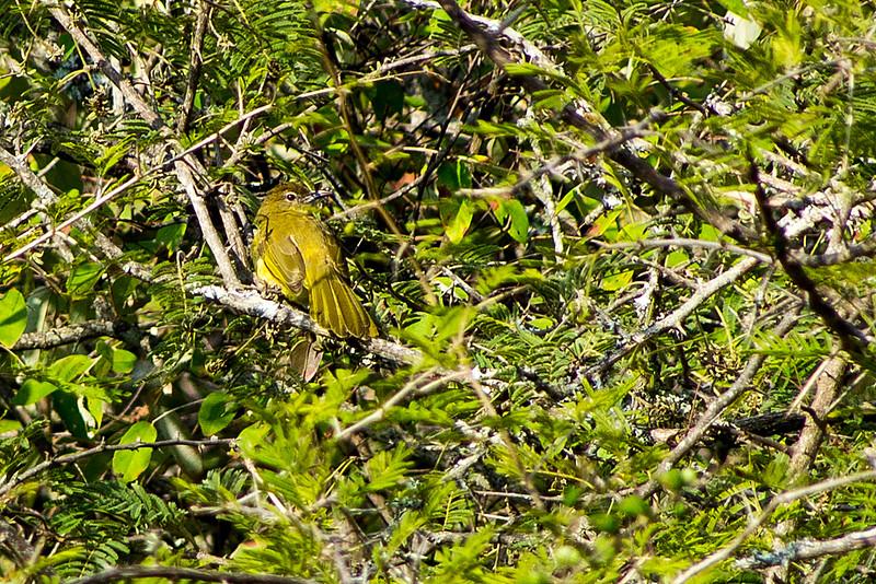 Yellow-bellied greenbul or Yellow-bellied bulbul (Chlorocichla flaviventris)
