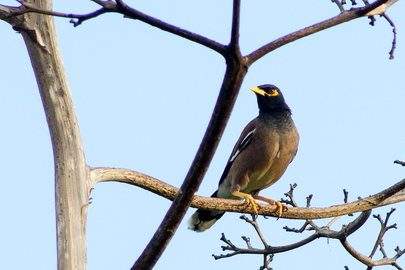 Common myna or Indian Myna (Acridotheres tristis)