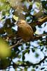 Long-billed crombec (Sylvietta rufescens)