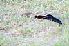 Long-tailed paradise-whydah or Paradise whydah (Vidua paradisaea)