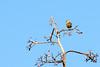 Long-tailed paradise-whydah or Paradise whydah (Vidua paradisaea) - Female