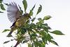 Cape white-eye (Zosterops virens)